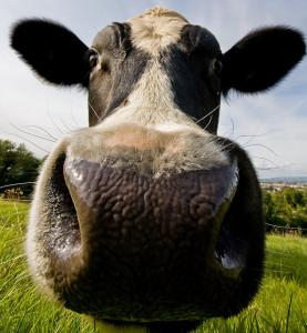 Goed Boeren koe