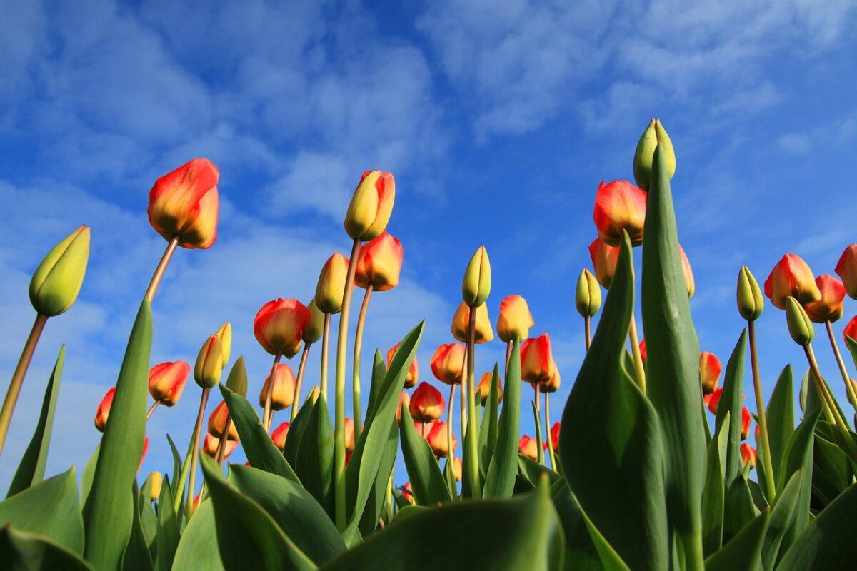 Tulpenbollen weer terug op het menu